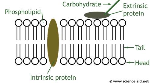 phospholipid diagram simple dpsc tk : phospholipid bilayer diagram - findchart.co