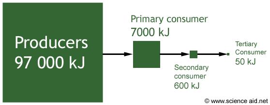 food chain diagram. a food chain. The diagram