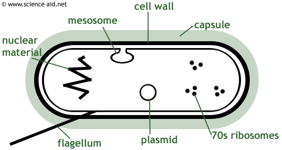Diagram of a bacterium including mesosome, plasmid, cell wall, capsule