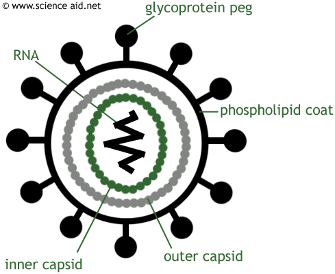 Here are the functions of the various structures in the diagram Hiv Diagram