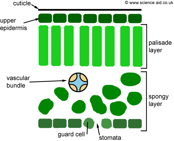Leaf Cell Diagram http://www.scienceaid.co.uk/biology/plants/transpiration.html